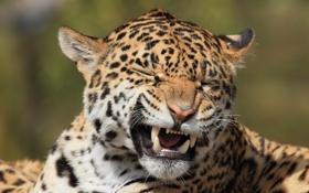 Картинка дикая кошка, морда, ягуар, пасть, гримаса, клыки, хищник