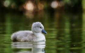 Картинка вода, лебедь, птенец