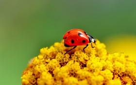 Картинка божья коровка, ярко, насекомое, жук, макро, цветы