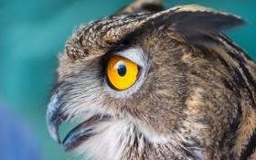 Картинка глаза, макро, сова, птица, окрас