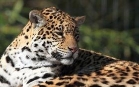 Обои морда, отдых, ягуар, дикая кошка