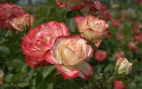 Обои куст, розы, бутоны