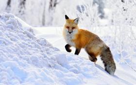 Обои зима, снег, лиса, рыжая