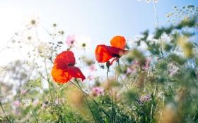 Картинка трава, природа, мак