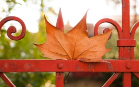 Обои осень, лист, ограда, клён