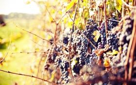Обои лоза, осень, виноград, солнце, теплый день, grapes
