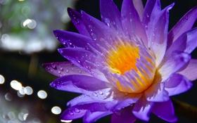Картинка цветок, капли, роса, лепестки