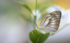 Обои листья, бабочка, растение