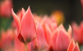 Картинка макро, цветы, весна, размытость, тюльпаны, красные, розовые