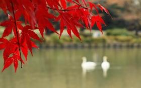 Картинка осень, листья, птицы, озеро, ветка, клен, багрянец