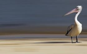 Картинка bird, australia, Pelican