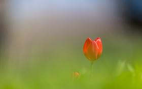 Картинка цветок, тюльпан, лепестки, красные