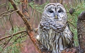 Картинка иголки, ветки, дерево, сова, сосна, пёстрая неясыть, Barred owl