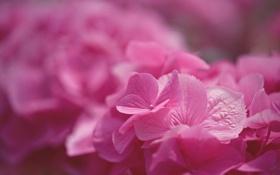 Обои Pink Hydrangea, макро, цветы