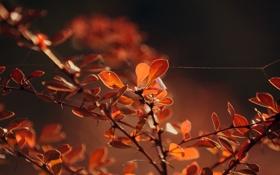 Картинка осень, листья, макро, ветки, природа, паутина, вечер