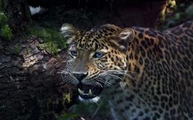 Картинка взгляд, морда, хищник, леопард, оскал