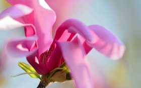 Обои макро, розовая, весна, магнолия