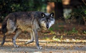 Картинка взгляд, волк, хищник