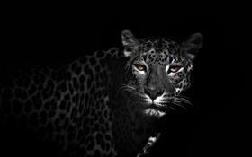 Картинка фон, цвет, Leopard on black