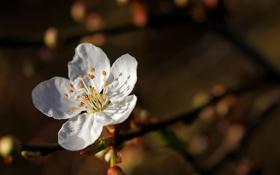 Обои вишня, цветение, лепестки, цветок, сакура, белый, ветка