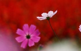 Обои белый, макро, цветы, розовый, космея