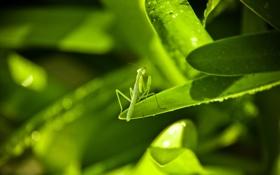Картинка листья, зеленый, богомол, насекомое