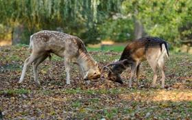 Обои природа, дуэль, олени