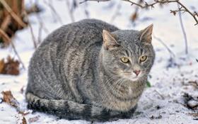 Картинка зима, кот, снег, серый, сидит