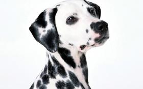 Обои белый, фон, собака, пятна, далматинец, dalmatinec