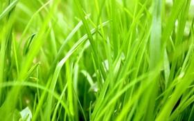 Картинка трава, растение, сочный, зелень, тепло, сезон, зелёный