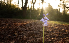 Обои Цветок, колокольчик, flower, Bluebell