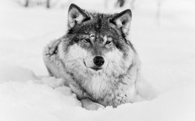 Обои зима, морда, волк, чёрно-белое, хищник