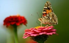 Обои цветок, крылья, мотылек, бабочка