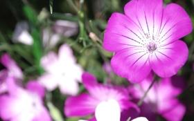 Обои цветы, природа, лепестки, сад, клумба