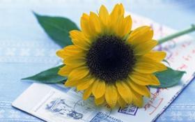Обои цветы, подсолнух, почта, письмо