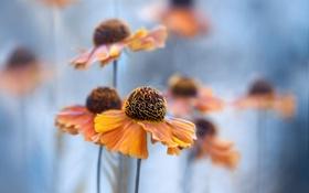 Картинка голубой фон, Helenium, цветы желто-оранжевые, Гелениум