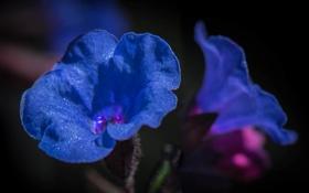 Обои макро, природа, капли воды, синие цветочки