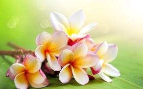 Обои экзотика, плюмерия, frangipani, красный жасмин