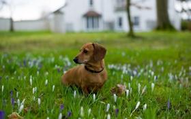 Обои поле, цветы, собака