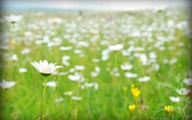Обои зелень, поле, лето, ромашка