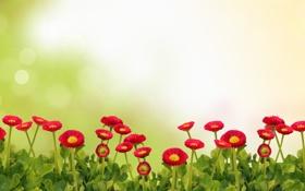 Обои цветы, flowers, daisies, маргаритки