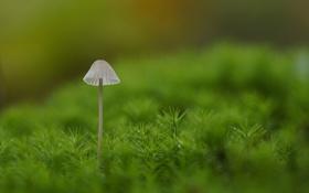 Обои макро, гриб, мох, зелёный, поганка