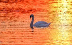 Обои закат, лебедь, озеро
