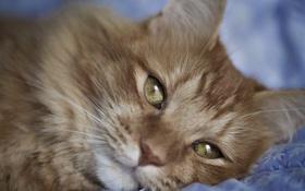 Обои кот, глаза, рыжий, лежит, взгляд, кошка