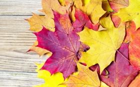 Картинка листья, осень, клен, бордовые, оранжевые, желтые