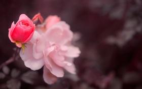 Картинка розы, лепестки, боке