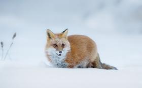 Картинка зима, снег, лиса, природа