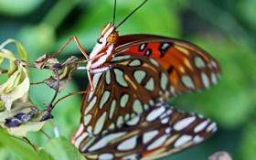 Обои природа, бабочка, насекомое, мотылек