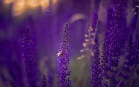 Обои природа, пчела, цветы