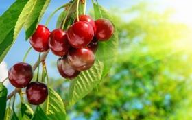 Обои вишня, ветка, черешня, sweet, cherry, berries